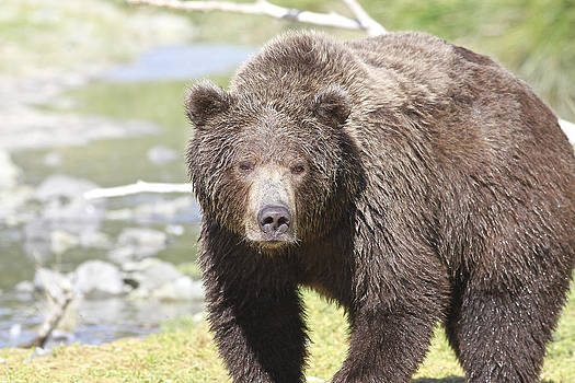 Brown Bear by Donna Quante