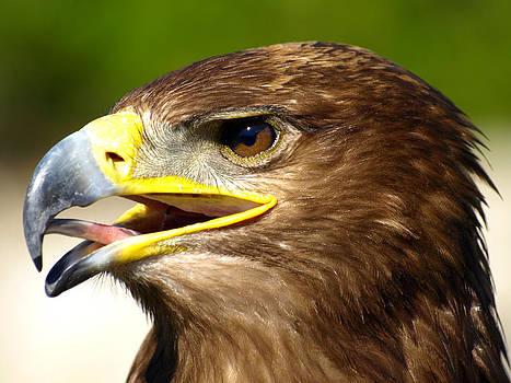 Brown eagle portrait by Steen Hovmand Lassen