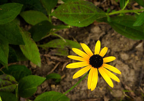 Brown eyed susan by Amy Lingle