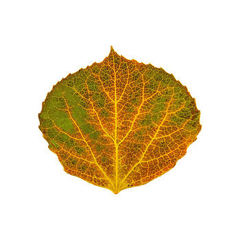 Brown Green Orange and Yellow Aspen Leaf 1 by Agustin Goba