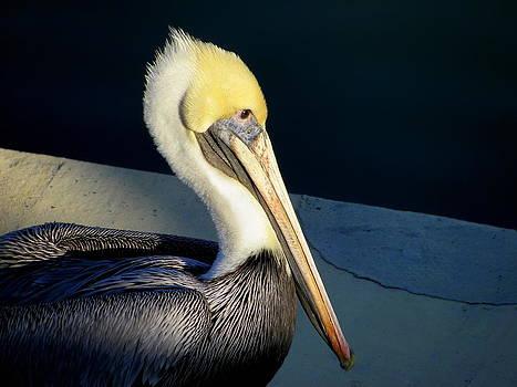 Brown Pelican by Iustin Cret