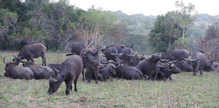 Buffalos by Olaf Christian