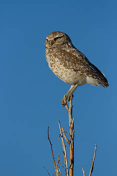 Burrowing Owl by Don Baccus