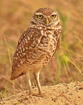 Burrowing Owl by Nancy Landry