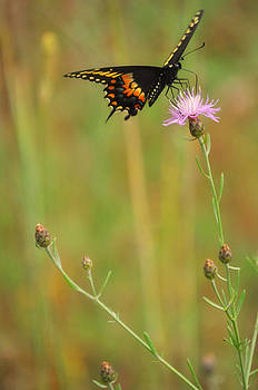 Mary Frances - Butterfly and Thistle