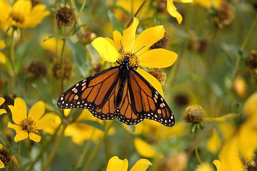 Butterfly Enjoying a Flower by Suzie Banks