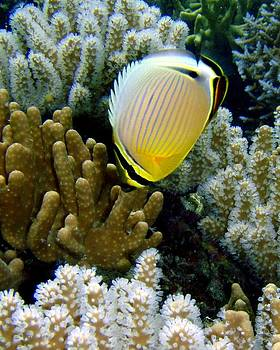 Butterfly fish by Martha Lyle