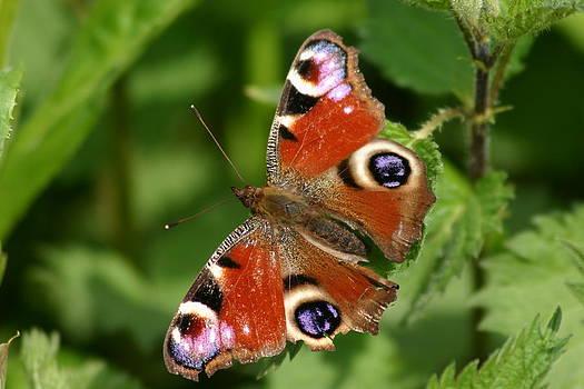 Butterfly by Gillian Dernie