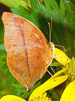 Millard H Sharp - Butterfly Mimicry