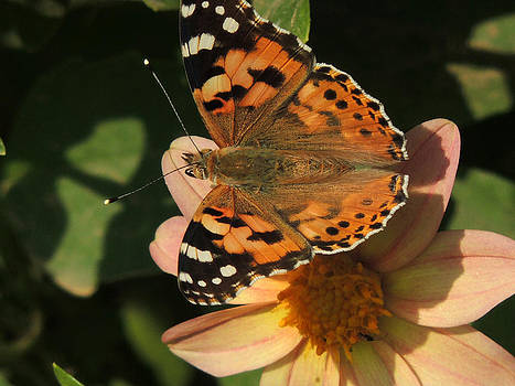 Butterfly On A Flower by Ramesh Chand