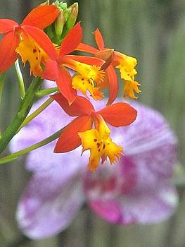 Alfred Ng - butterfly orchid
