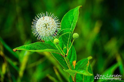 The Buttonbush Flower by Jens Larsen