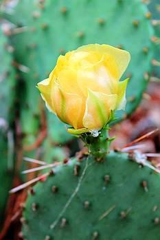 Rebecca Frank - Cactus Flower