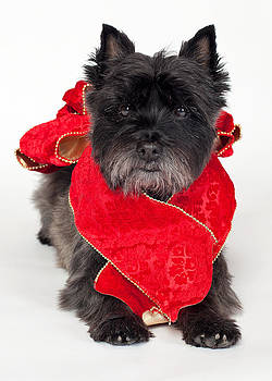 Heidi Marcinik - Cairn Terrier With Red Bow