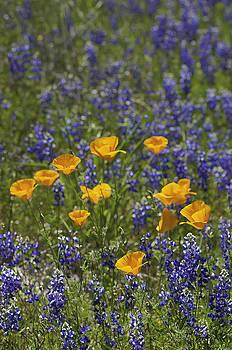 California Poppies and Lupine by Sherri Meyer