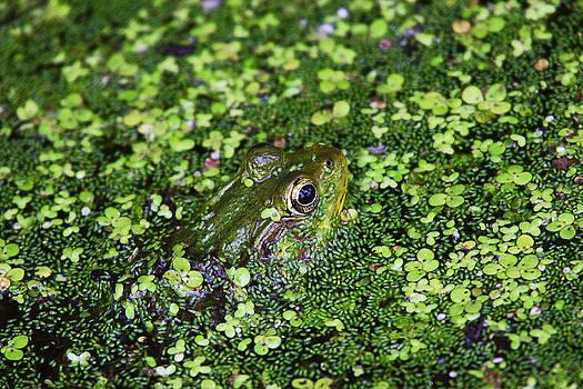Dawn J Benko - Camo Frog
