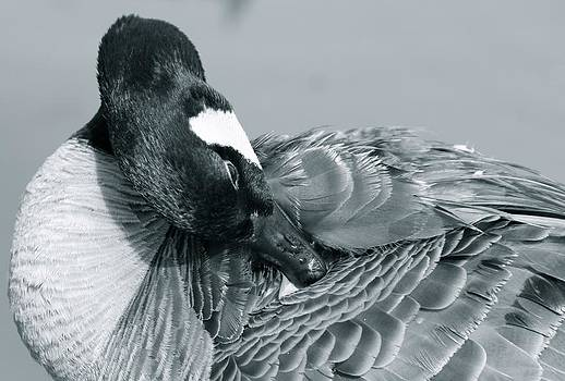 Canada Goose  by Veronica Ventress