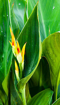 Canna Lily by Michael Ray