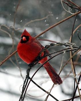 Cardinal in Winter by Genevieve  Borden