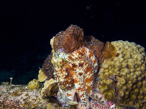 Matt Swinden - Caribbean Reef Octopus II