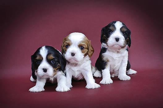 Waldek Dabrowski - Cavalier king charles spaniel puppies