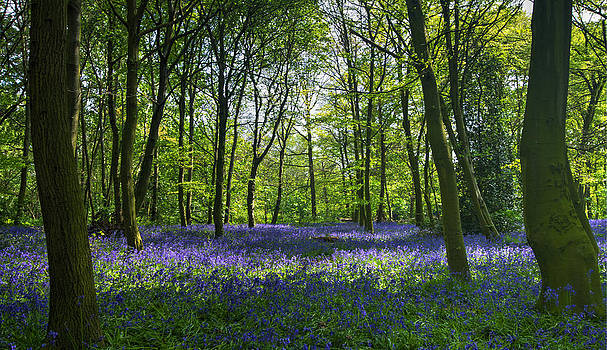 David French - Chalet Wood Wanstead Park Bluebells