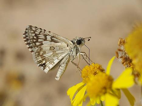 Checkered Skipper by Billy  Griffis Jr