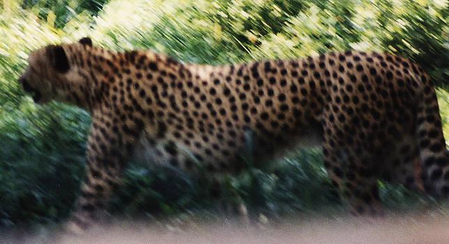Cheeta by Gordon Larson