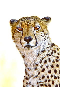 Cheetah portrait by Bruce Colin