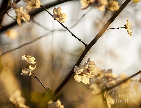 Tim Hester - Cherry Blossoms