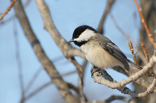 Chickadee by Cheryl Cencich