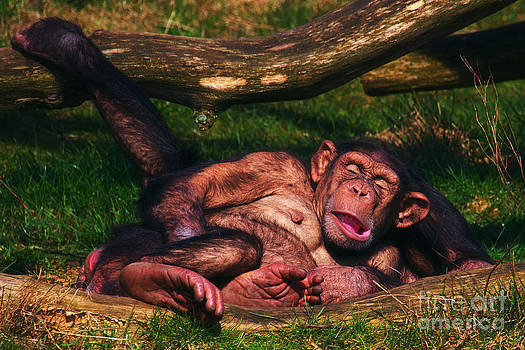 Nick  Biemans - Chimpanzees taking a nap