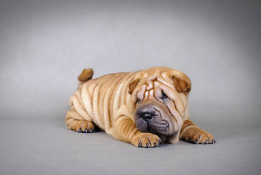 Waldek Dabrowski - Chinese Shar pei puppies portrait
