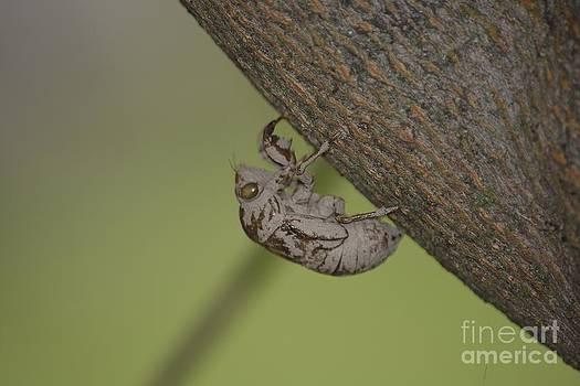Cicada by Randy Bodkins