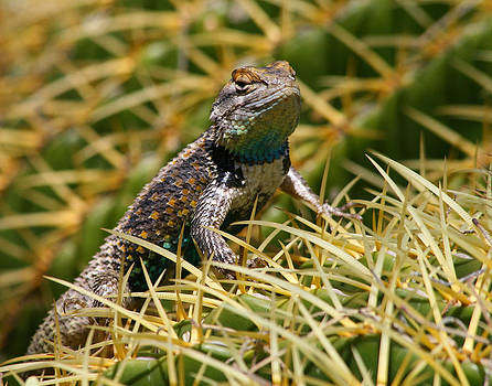 Clark's Spiny Lizard on a Barrel Cactus by Old Pueblo Photography