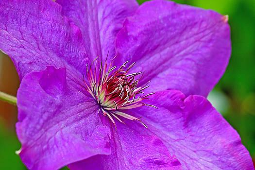 Clematis flower by Borislav Marinic
