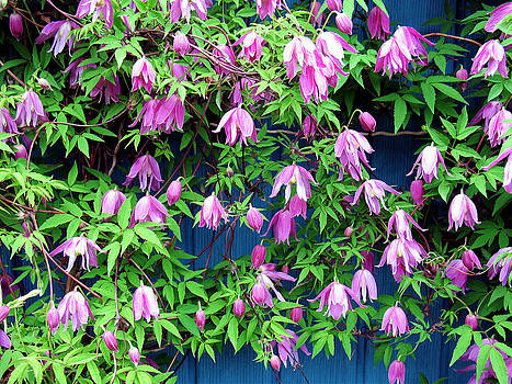 Clematis by Gerry Bates