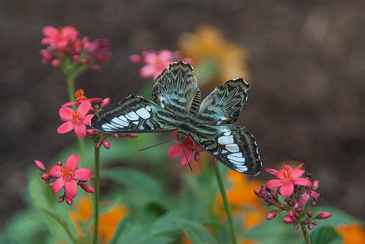 Tam Ryan - Clipper Butterfly