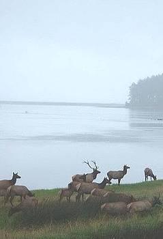 Coastal Elk by Jennifer Ott