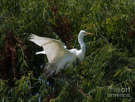 Dale Powell - Common Egret