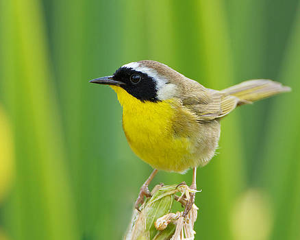 Common Yellowthroat Male by Steve Kaye