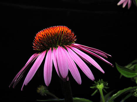 Cone Flower by David Armstrong