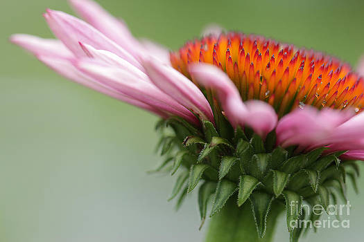 Coneflower by Cindi Ressler