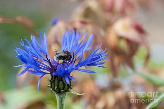 Cornflower  by Donald Davis