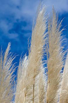 Fizzy Image - Cortaderia selloana
