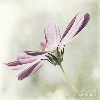 Cosmos by Pam  Holdsworth