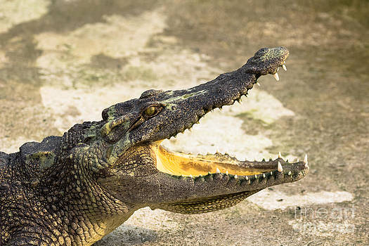 Crocodile with open mouth by Tosporn Preede