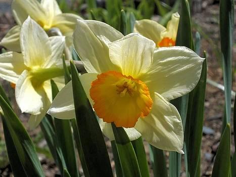Daffodil by Gene Cyr