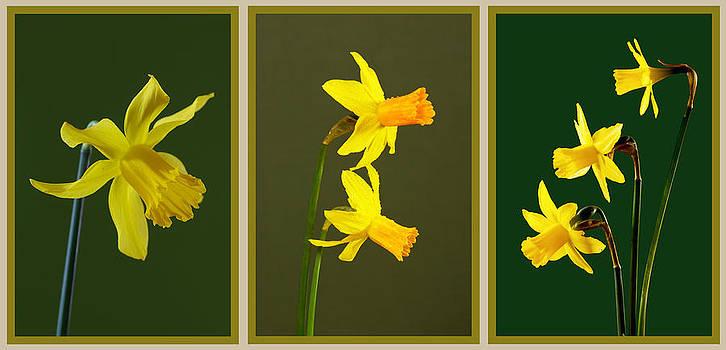 Daffodil Triptych by Pete Hemington