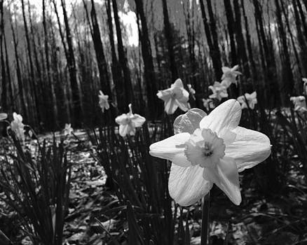 Daffodils in Black and White by Jeff Picoult
